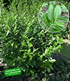 BALDUR-Garten Immergrün Kirschlorbeer-Hecke, 1 Pflanze Prunus Caucasica winterhart