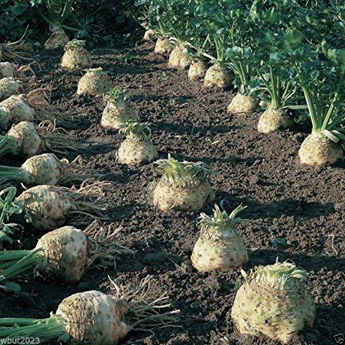 Brillante Sedano rapa 100 semi, Aperto impollinazione, Heirloom, agricoltura biologica, 100 giorni!