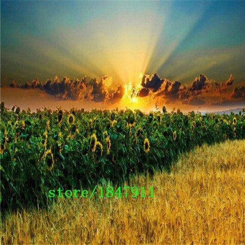 venta-grandes-de-fortune-helianthus-annus-semillas-100-verdadera-mini-semillas-de-girasol-variedad-c
