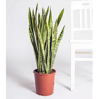Sansevieria laurentii bogenhanf kompakt mit kr ftigen farben im 17cm topf garten - Hanf zimmerpflanze ...