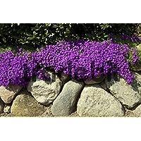 50+ semillas/paquete de semillas de flor de berro de roca púrpura brillante Aubrieta/perenne/resistente a los ciervos