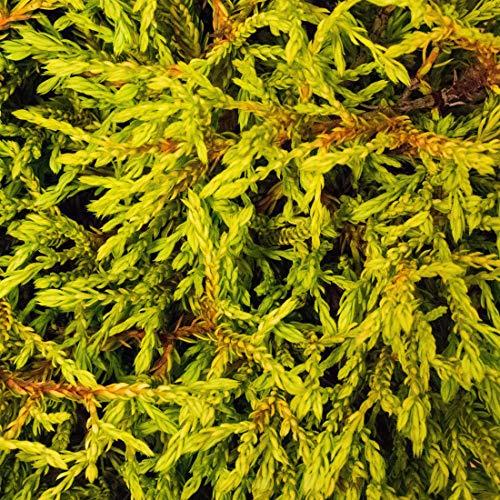 Thuja Occidentalis 'Golden Tuffet'- Arbre de vie 'Golden Tuffet' 20-25 cm en conteneur