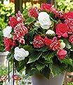 """BALDUR-Garten Gefüllte Begonien """"White-Pink Blend"""" 6 Knollen Begonia Knollenbegonie von Baldur-Garten auf Du und dein Garten"""