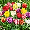 50 Gefüllte Frühlings Tulpen Royal Unsere Besten in den Farben rot weiß Neue Ernte von Lifestyle-Hamburg Pflanzenraritäten - Du und dein Garten