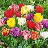 50 Gefüllte Frühlings Tulpen Royal Unsere Besten in den Farben rot weiß Neue Ernte