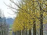 Hartriegel 'Kornelkirsche' - Cornus mas - Containerware, 60-100 cm hoch - Garten von Ehren®