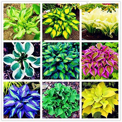 ypypiaol 100 Stücke Hosta samen, Hosta Plantaginea Samen Bonsai Pflanze Blume Home Office Garten Yard Decor (Hosta-samen)