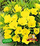 BALDUR-Garten Bodendecker Nachtkerze, 3 Pflanzen Oenothera winterhart Blütenstaude