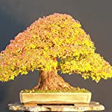 Doubleer 20 Stücke Ahorn Samen Bonsai Japanischen Ahorn Samen Gartenpflanzen Dekoration