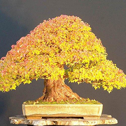 20 Graines / Paquet Graines D'érable Japonais, Wongfon Bonsaï Or Maple Tree Graines Jardin Balcon Vivaces Plantes Beautifying