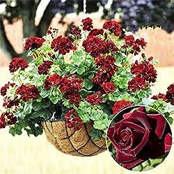20 PC Rare Geranium Samen Black Rose Pelargonium Perennial Blumensamen Hardy Pflanze Bonsai Topfpflanze