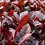 Gemüse-Amarant - Rotblättriger Fuchsschwanz - Amaranth Red Army - 500 Samen