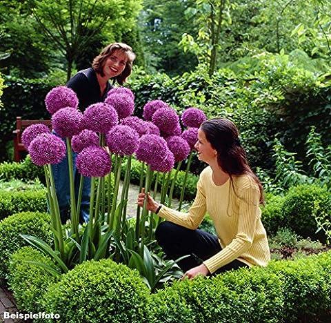 30 Graines d'Allium giganteum - Ail d'ornement géant - violette