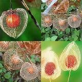 Cioler Seme di Fiore- 50pcs Semi di Lanterna rossa, Rarities Piante Physalis Alkekengi Seeds Fruits Seeds Semi di piante per la casa giardino