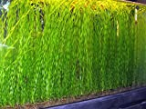 5 to 50 TWISTED VALLIS Corkscrew Live Plant for Tropical Aquarium fish tank Vallisneria Tortifolia (20)