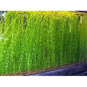 5 to 50 TWISTED VALLIS Corkscrew Live Plant for Tropical Aquarium fish tank Vallisneria Tortifolia