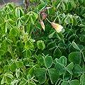 lichtnelke - Peruanischer Sauerklee - Oca / Oka (Oxalis tuberosa) Gelbe Knollen von Lichtnelke Pflanzenversand - Du und dein Garten