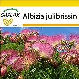 SAFLAX - Anzucht Set - Schlafbaum - 50 Samen - Albizia julibrissin