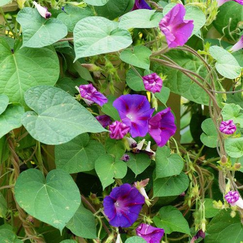 Morning Glory Climber (Plant World Seeds - Ipomoea Purpurea Mixed Seeds)