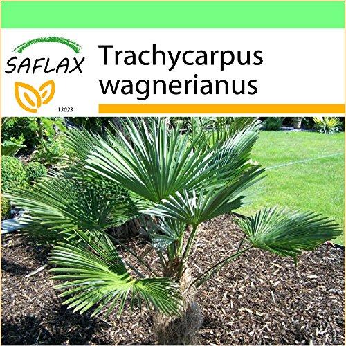 SAFLAX - Jardin dans la boîte - Palmier miniature de Chusan - 4 graines - Trachycarpus wagnerianus