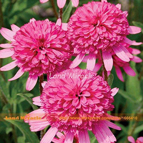 Echinacea Southern Belle Sonnenhut Blumensamen, 50 Samen, Rosa Doppel Große Blüten leuchten Ihrem Garten-Land Miracle -