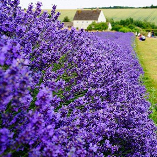 mymotto Blumensamen - Blauer Duft-Lavendel Samen, der Duft des Sommers, 50 Samen