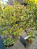 Rotbuche Fagus sylvatica 80-100 cm hoch im 5 Liter Pflanzcontainer