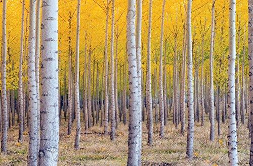 JP London spmur2379Abziehen & Aufkleben Abnehmbare Wand Wandbild gelb Herbst Birken Wald Himmel bei