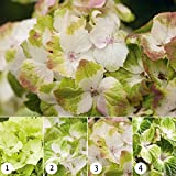 Hydrangea Magical Noblesse 14 cm pot - 1 strauch