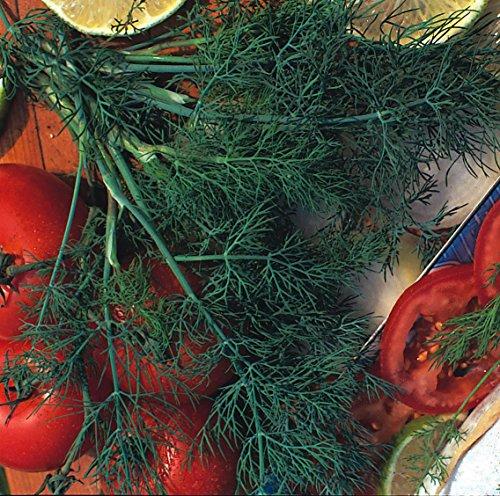 Erbe - Aneto Mammuth - Anethum graveolens - 50g Semi - Confezione Grande