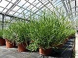 Lavendel XXL Stamm oder Busch XXL Lavandula Angustifolia Kräuter Kräuterküche (Ø 40 cm XL Busch)