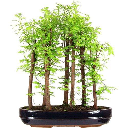 metasequoia-bonsai-10-ans-52cm