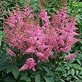 Rosa Prachtspiere (Astilbe arendsii 'Astary Pink') - 1 Pflanze von Garten Schlüter - Du und dein Garten