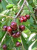 Fruchtbengel, Süßkirsche Kordia, Prunus avium, groß, fest, knackig, dunkelrot/schwarz