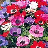 Cento tuberi di Anemone coronaria 'De Caen' a fiore semplice. Spedizione dei tuberi e consulenza specialistica gratuita.