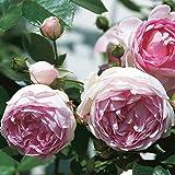 Kletterrose 'Jasmina' (Premium) - violett-rosa blühende Topfrose im 6 L Topf - frisch aus der Gärtnerei - Pflanzen-Kölle Gartenrose
