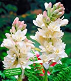 Duft-Tuberose The Pearl,6 Knollen Polianthes tuberosa