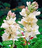 Duft-Tuberose The Pearl,6 Knollen Polianthes tuberosa