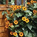 lichtnelke - Schwarzäugige Susanne (Thunbergia alata) Orange Eye von Lichtnelke Pflanzenversand bei Du und dein Garten