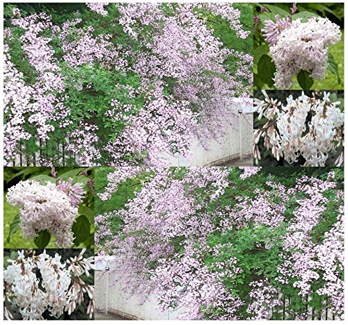 (20) di wolf lilla, syringa semi wolfii - piede fiori profumati long