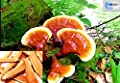 250g ling zhi Reishi Ganoderma Lucidum Mushroom dry herbs immune boost from DR T&T HEALTH UK LTD