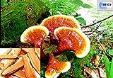 250g ling zhi Reishi Ganoderma Lucidum Mushroom dry herbs immune boost from DR T&T HEALTH UK LTD