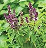 #4: Herbal Plant - Rare Sweet Basil Plant - 1 Healthy Live Plant (6 to 8 inch Height Plant)
