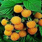 Yukio Samenhaus - Himbeeren Samen Raspberry robust ertragreich Obstsamen