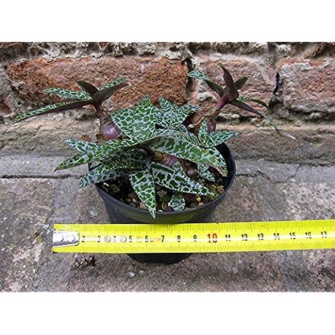Scilla violacea 12 cm, cactus, pianta grassa - Piante Radice Nuda