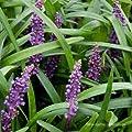 Lilientraube, Liriope muscari 'Big Blue' von VDG-Stauden bei Du und dein Garten