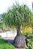 Beaucarnea recurvata, RARE piede di elefante coda di cavallo di palma CAUDEX bonsai 100 SEMI