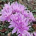 Herbstzeitlose Waterlily - Colchicum speciosum von Baumschulen auf Du und dein Garten