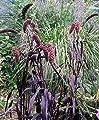 Kolbenhirse 'Red Jewel' 30 Samen, Setaria Italica, Ziergras, rot Borste Gras- schönes lila Gras von Grow Your Secret Seeds bei Du und dein Garten