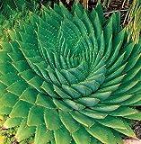 Aloe polyphylla - Spiral-Aloe - 3 Samen